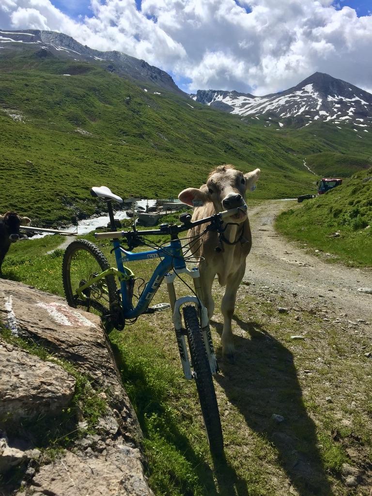 Auf dem Weg zum Fimberpass, an der Heidelberger Hütte. Die Kühe stehen scheinbar auf das, was ich an meinem Lenker hinterlassen habe.